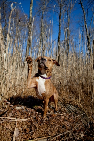 Bailey Pit bull | New Jersey Pet Photographer