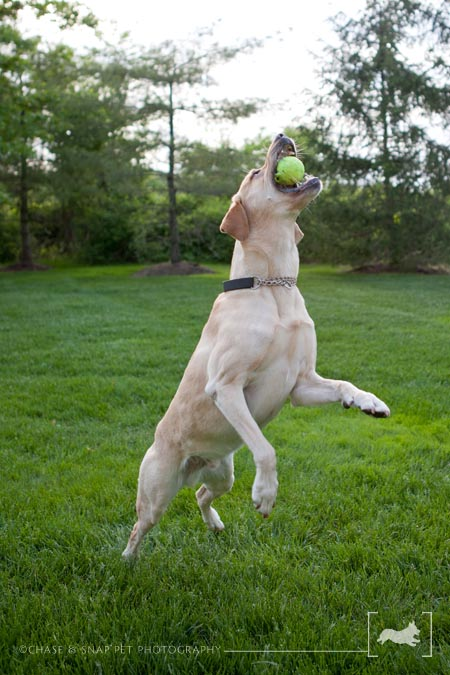 Project 52 | Yellow Lab | Professional New Jersey Pet Photographer