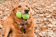 Golden Retriever | Fenway | New Jersey Pet Photographer