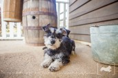 Scruffy | Miniature Schnauzer mix | New Jersey Pet Photographer