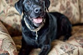 New Jersey Pet Photographer | Black Lab | Turner