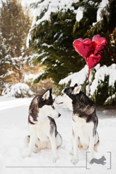 Siberian Husky | Valentine's Day | New Jersey Pet Photographer