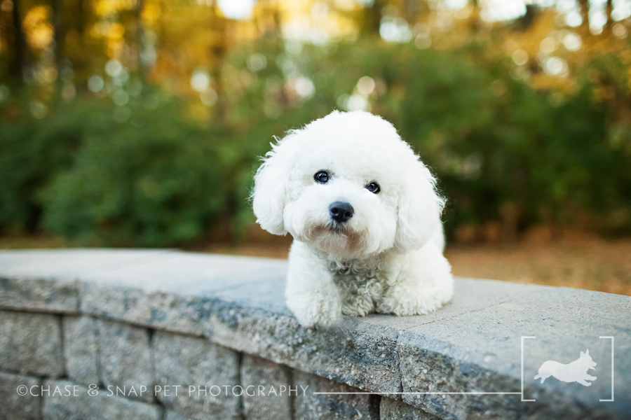 New Jersey Pet Photographer | Max the Bichon Frise