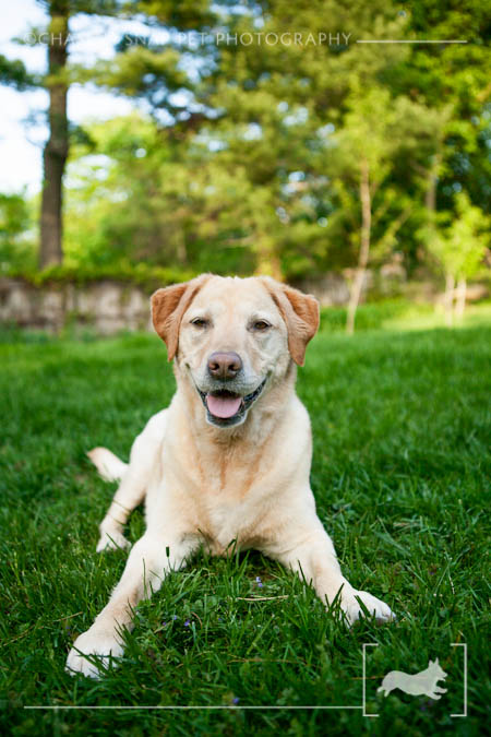 Yellow Labrador retriever | New Jersey Pet Photographer