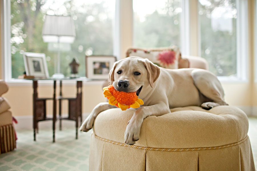 Yellow Lab | New Jersey Pet Photographer | New York Pet Photographer