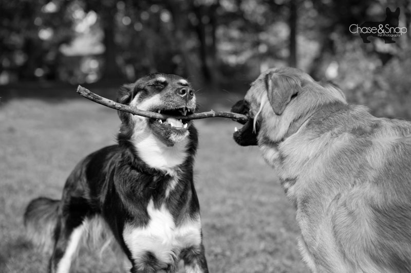 Shamus and Pixie the Dogs At Play