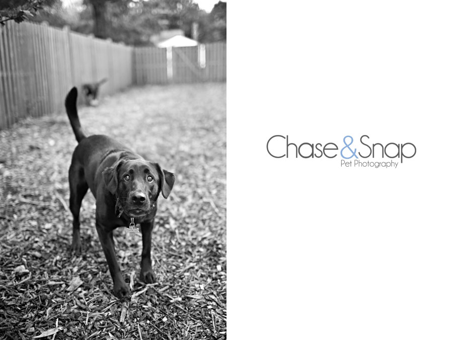 Black Lab | Project 52 | New Jersey Pet Photographer