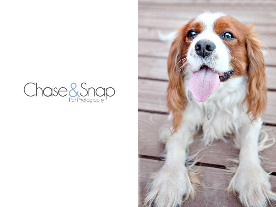 Charles the King Charles Cavalier | New Jersey Pet Photographer