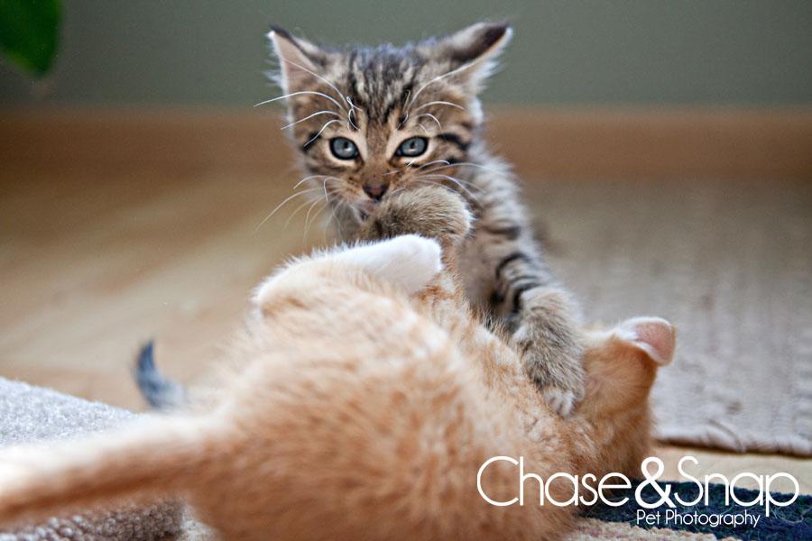 Toby Gazpacho kittens | New Jersey Pet Photographer