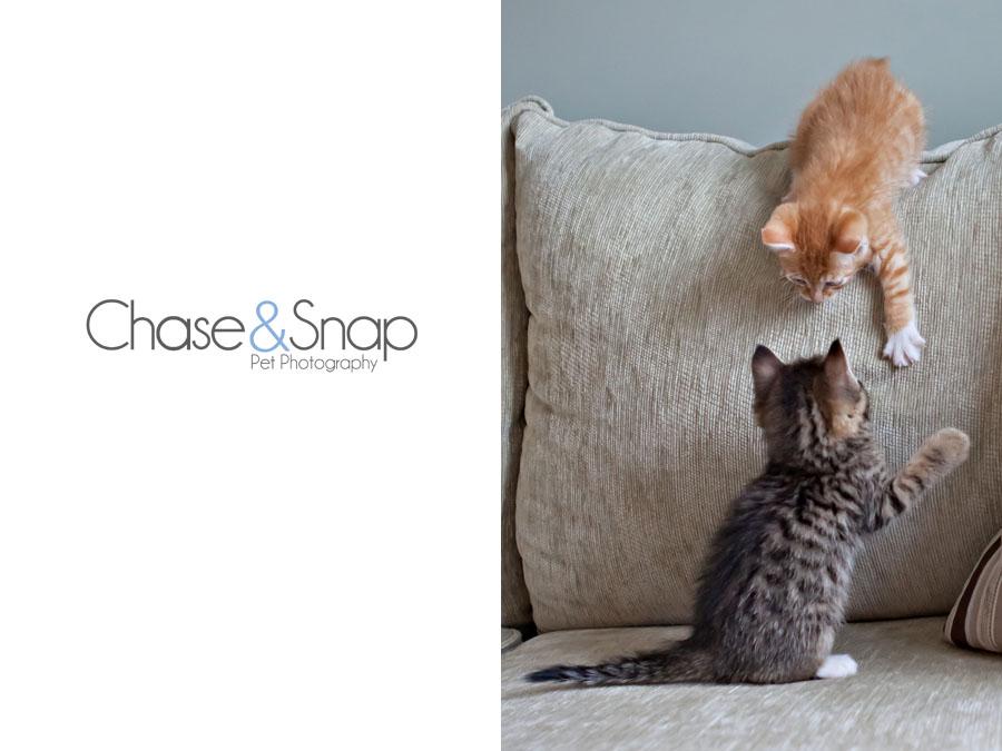 Gazpacho Toby kitten | New Jersey Pet Photographer