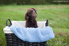 Chocolate Lab Puppy | New Jersey Pet Photographer