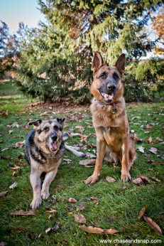 Hudson and Hagen | German Shepherds | New Jersey Pet Photographer
