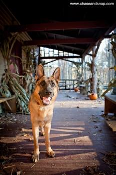 German Shepherd | Hagen | New Jersey Pet Photographer | Autumn