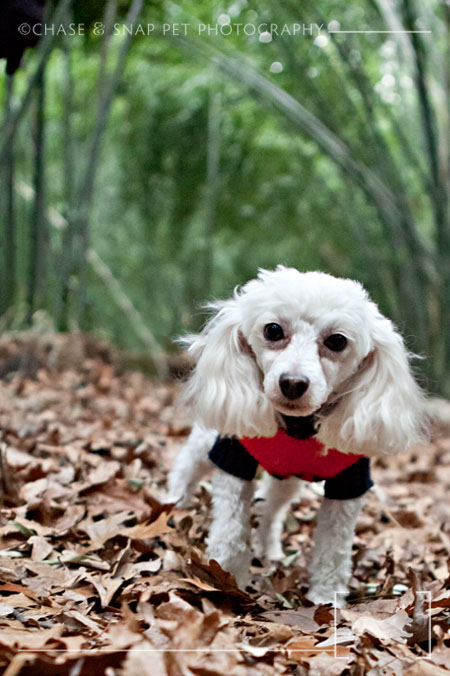 New Jersey Pet Photographer | MCSPCA Dog Walk | Poodle