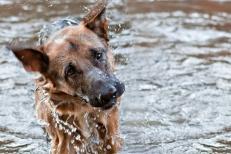 German Shepherd | water | New Jersey Pet Photographer
