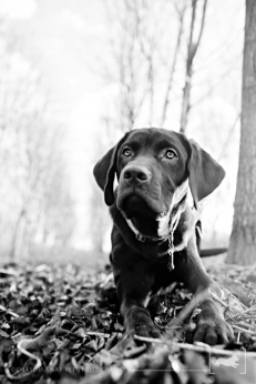 Chocolate Lab | New Jersey Pet Photographer