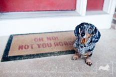 New Jersey Pet Photographer | Dachshund