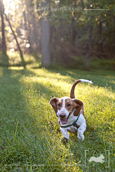 New Jersey Pet Photographer, Basset Hound, running