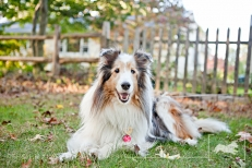 Taz | Shetland Sheepdog | New Jersey Pet Photographer