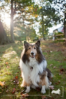 Fall | Sheltie | Shetland Sheepdog | New Jersey Pet Photographer