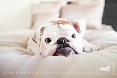 English Bulldog | New Jersey Pet Photographer