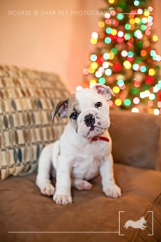 English Bulldog puppy | New Jersey Pet Photographer | Christmas tree
