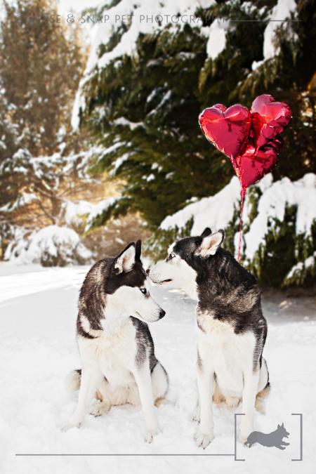 Siberian Husky | Valentine