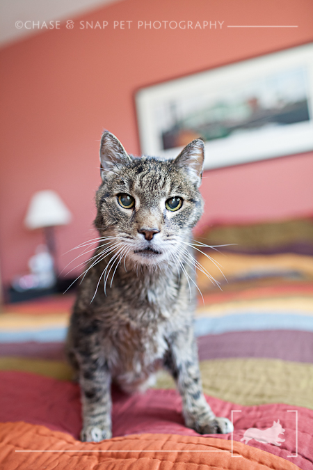 Domestic Shorthair Tabby Cat | New Jersey Pet Photographer