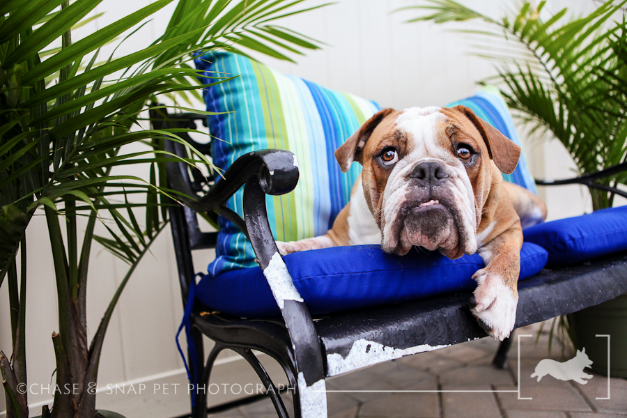 New Jersey Pet Photographer | Bulldog