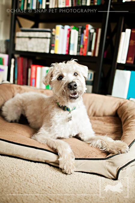 New Jersey Pet Photographer | Wheaten Terrier