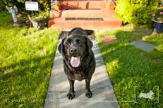 Black Labrador retriever | New Jersey Pet Photographer