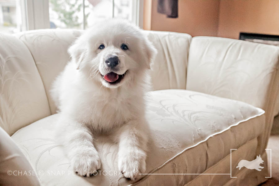 Spartacus|Great Pyrenees|New Jersey Pet Photographer