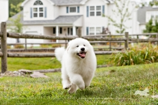 Spartacus | Great Pyrenees | New Jersey Pet Photographer