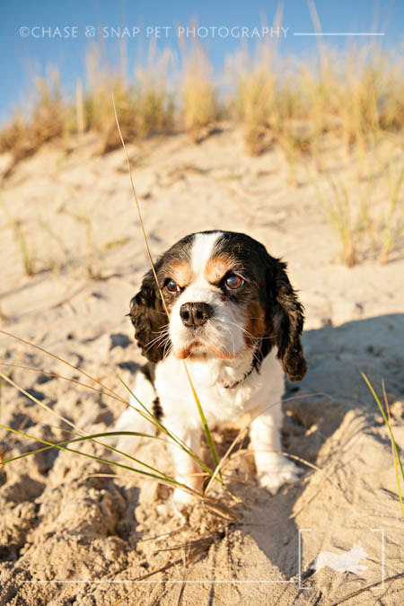 Cavalier King Charles Spaniel | New Jersey Pet Photographer