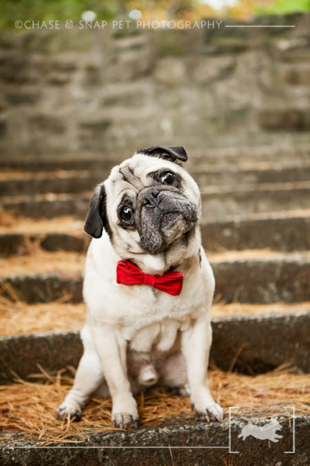 Pug| Engagement Session| New Jersey Pet Photographer