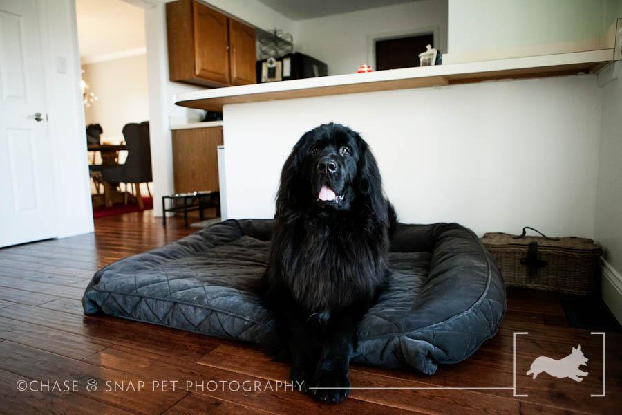 New Jersey Pet Photographer | Newfoundland