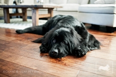 New Jersey Pet Photographer | Newfoundland